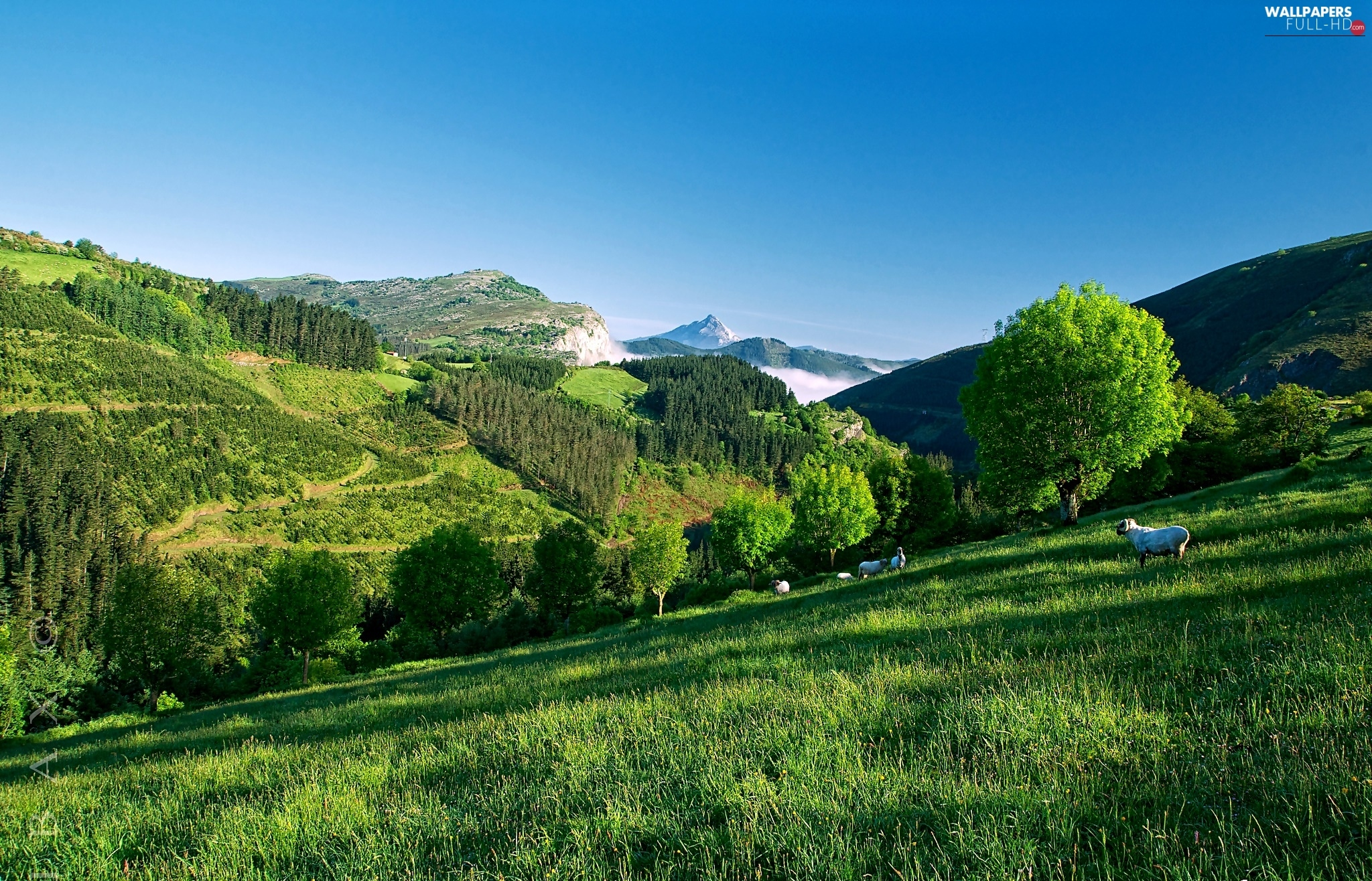 viewes, Sheep, trees, Mountains, summer, Meadow