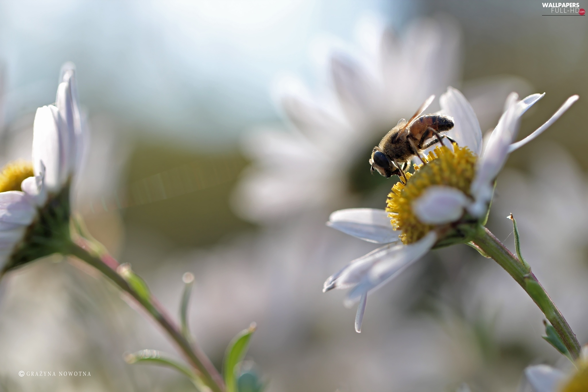 wasp, Flowers, daisy, White