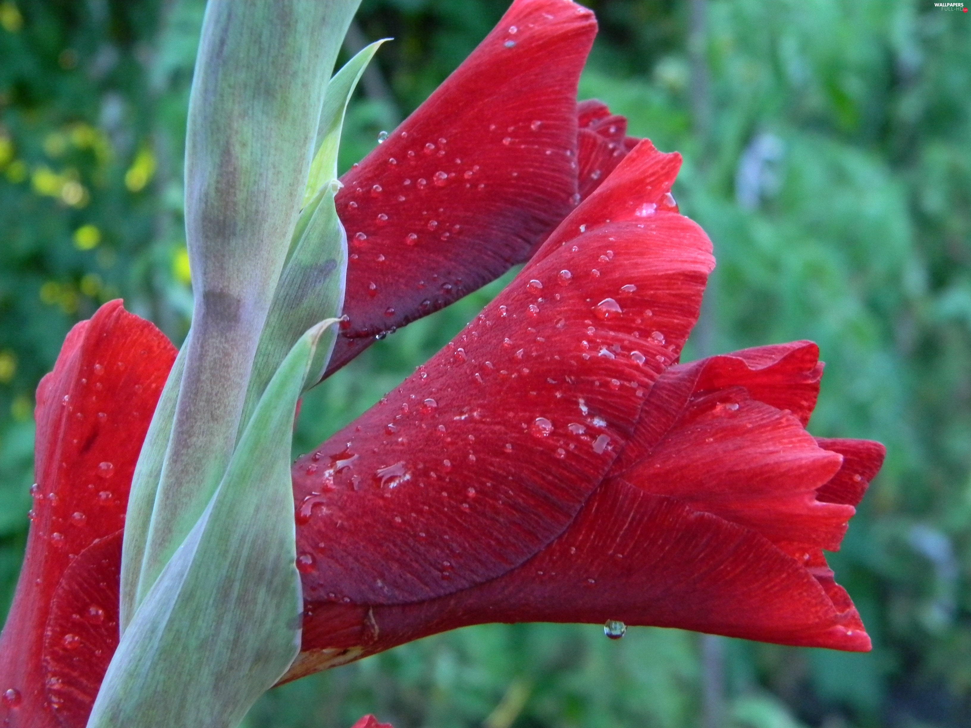 water, drops, claret, gladiolus