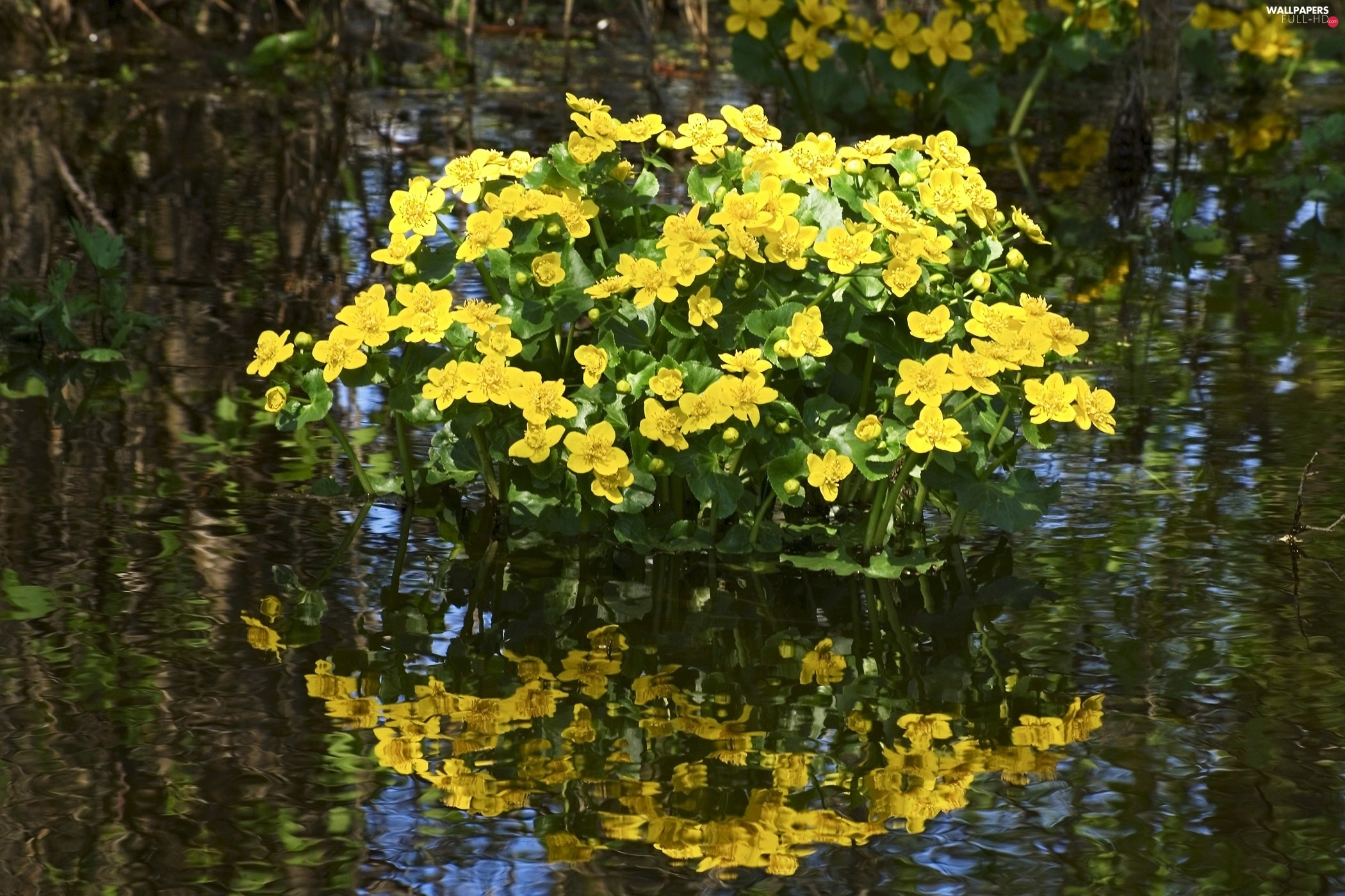 reflection, water, marigolds