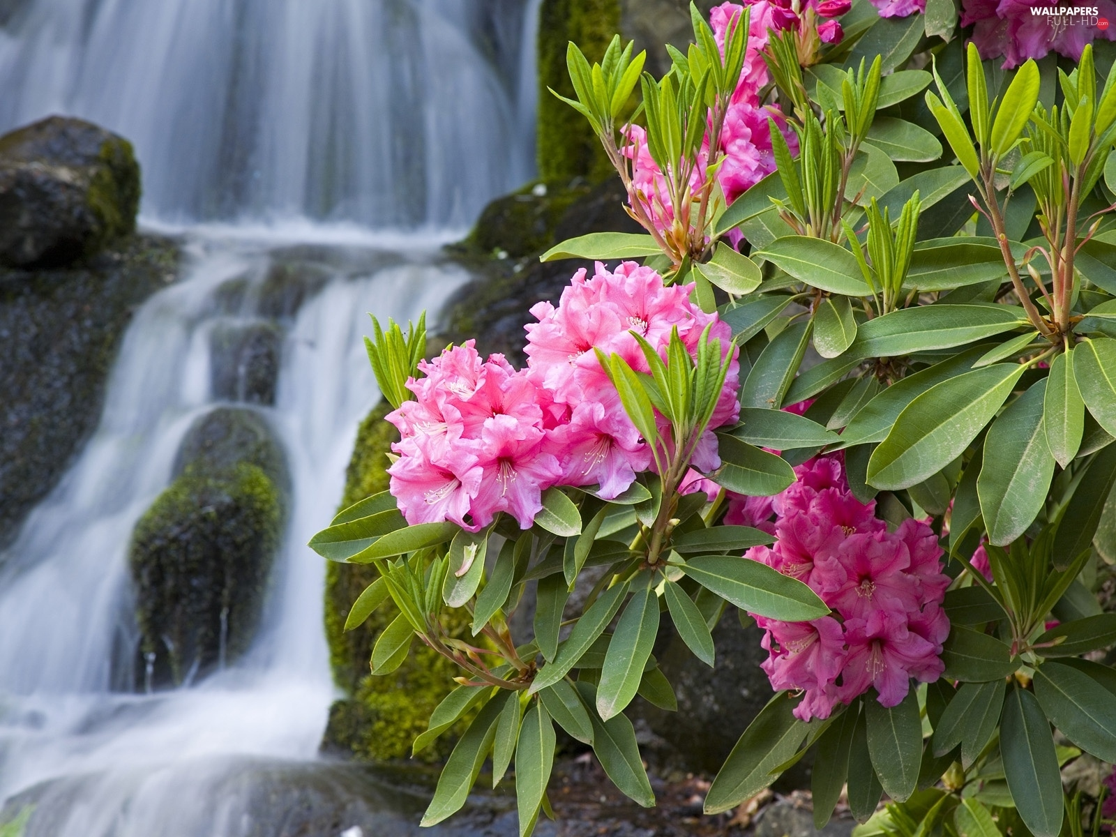 Rhododendrons, waterfall, Flowers