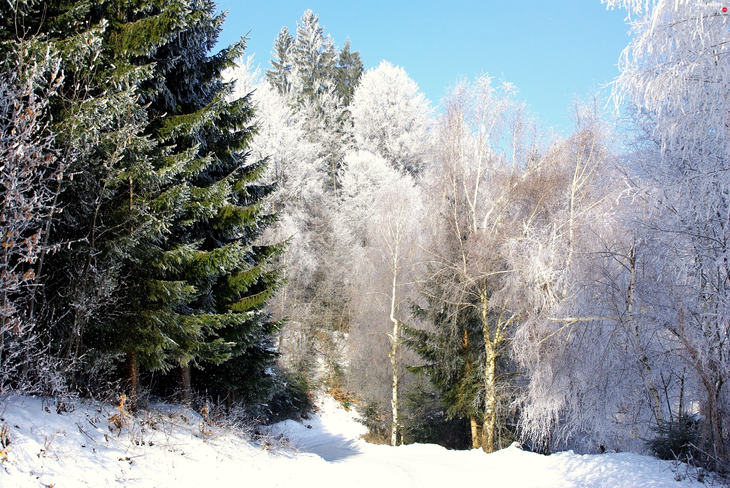 Way, trees, viewes, forest, winter, Snowy