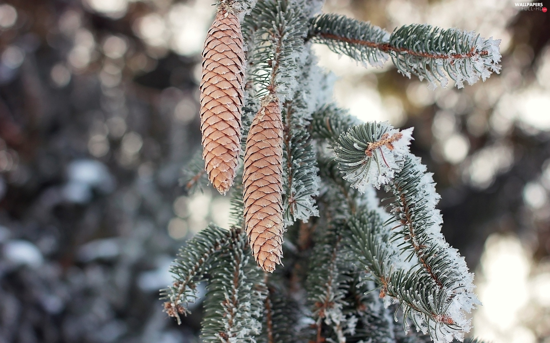 winter, forest, spruce, cones