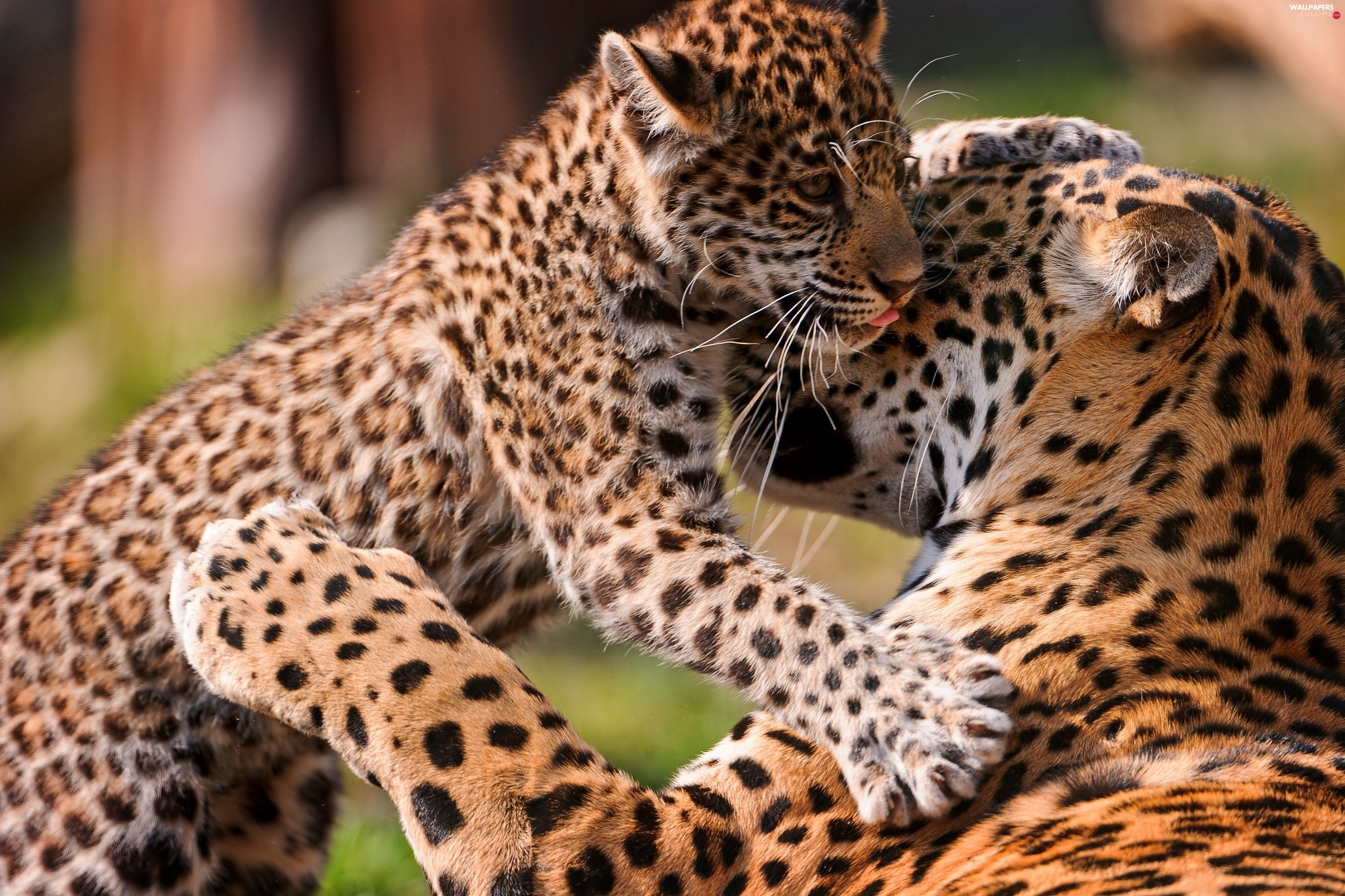 young, leopardess